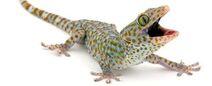 Tokay-gecko-1