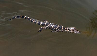 800px-Alligator mississippiensis baby