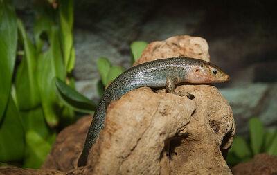 Plestiodon longirostris