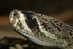 File:250px-Crotalus adamanteus (1).jpg
