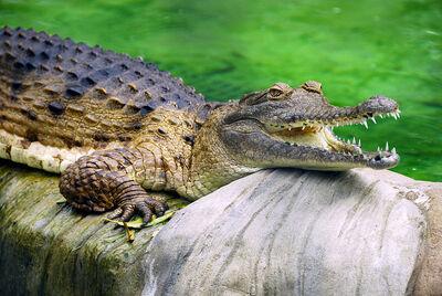 800px-Freshwater Crocodile at Lone Pine Koala Sanctuary
