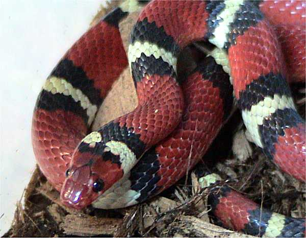 File:Kingsnake.jpg