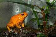Orange Terribilis