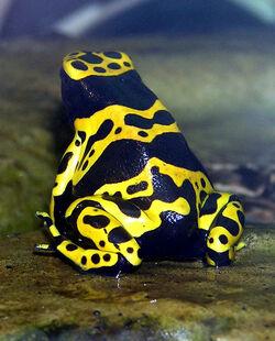 Bumblebee poison frog
