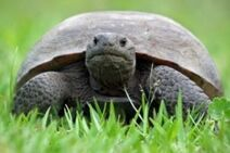 Gopher-Tortoise-2