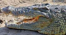 Nile Crocodile head close-up