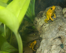 Yellow terribilis adult and juvenile