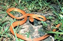 Brown tree snake Boiga irregularis USGS Photograph.sized