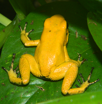 Yellow terribilis young male