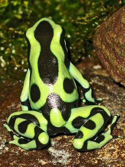 Dendrobates auratus 'Panama'