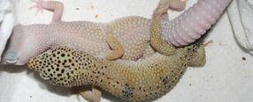 Breeding-leopard-geckos-575x233
