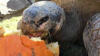 Galapagos Tortoises Hilariously Devour Pumpkins