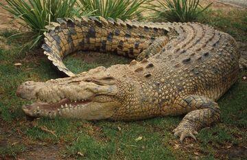 Saltwater-crocodile