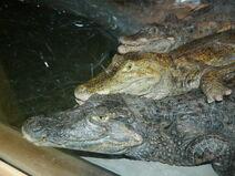 3 caimans