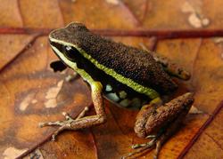 A. ingeri