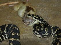 Jungle Carpet Python VS Rat