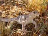 Iguanidae