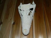 Spectacled caiman skull