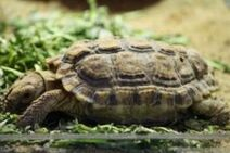 Speckled-Cape-Tortoise