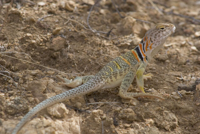 File:Collaredlizard.jpg