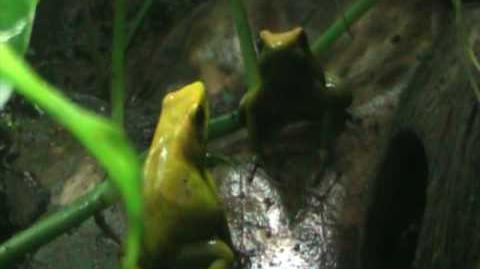 Phyllobates bicolor courting