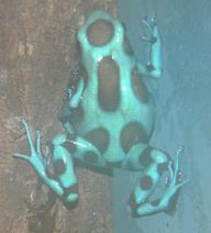 Gravid female auratus