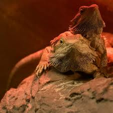 Twobeardies