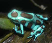 Female auratus (non-breeding)