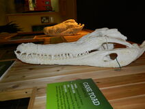False Gharial Skull 1