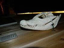 Dwarf Crocodile 1