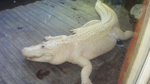 Rare Blue Eyed Albino Alligator