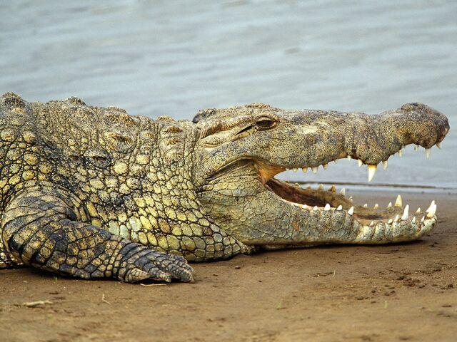 File:Nile-crocodilevasplain11256rfh.jpg