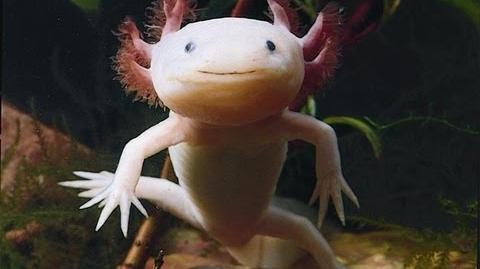 Axolotls - Cool Aquarium Pet