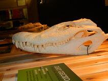 Black Caiman skull 1