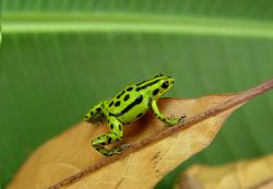 R. viridis