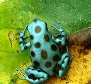 Dendrobates auratus 'Microspot'