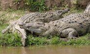 Nile croc couple 690V1510 - Flickr - Lip Kee