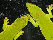 Giant day geckos