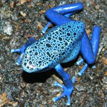 Female azureus on ground