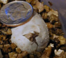 Common House Gecko