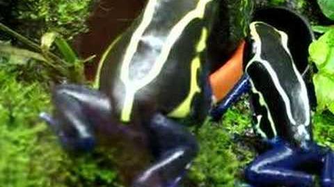 Male tinctorius cobalt calling