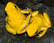Yellow terribilis on ledge 2