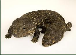 File:Shingleback1.jpg