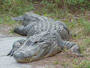 Gex-american-alligator jpg