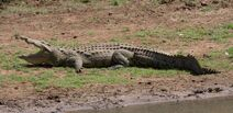 Nile Crocodile RSA09a2