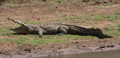 Nile Crocodile RSA09a2