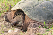 Snapping turtle 2 md