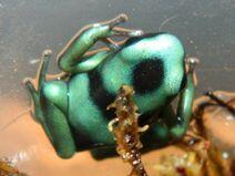 Auratus froglet