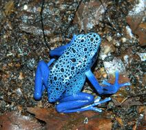 Female azureus 01