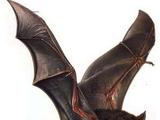 Desmodus Draculae